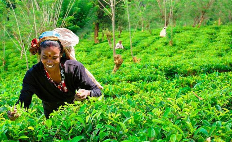 Экскурсия в питомник Пиннавела — чай и водопады Нувара Элии